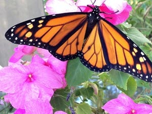 Monarch butterly in garden