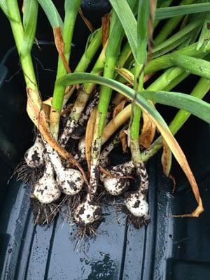 Gorgeous garlic Workshop